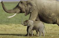 Los conservacionistas rechazan la venta de marfil en Tanzania y Zambia por el aumento de la caza furtiva