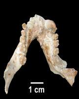 Descubren un primate de más de 11 millones de años