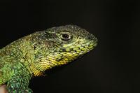 El 6% de las especies de lagartos se extinguirá antes de 2050 por el calentamiento global