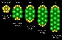 Un modelo físico describe las estructuras que pueden adquirir las cápsides de los virus
