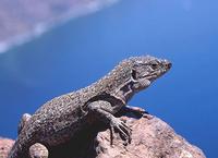 El incierto destino del lagarto moteado de Tenerife