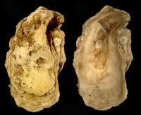 Aparece una ostra gigante que se creía extinguida