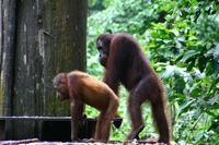 El ADN del orangután es más diverso que el del humano