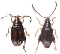 Descubren dos nuevas especies de escarabajos 'saltarines' en Nueva Caledonia