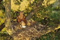 El milano negro decora su nido para mostrar su fuerza