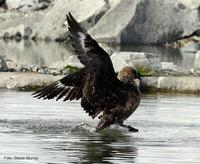 ¿Un ave que migra desde la Antártida a Europa?
