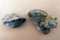 Descubren la especie más antigua de un molusco marino