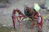Tras 30 años, la rana común no logra activar sus defensas frente al cangrejo rojo americano