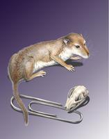El cerebro de los grandes mamíferos evolucionó por el olfato y el tacto