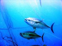 Tres años de puestas masivas de atún rojo en cautividad