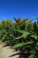 Un proyecto investiga la producción de bioetanol a partir de sorgo dulce