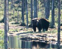 El oso pardo cambia sus hábitos para huir de los humanos