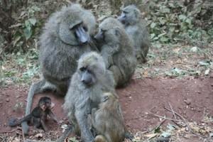 Los babuinos con mayor estatus social sufren más estrés