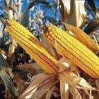 Perú prohíbe ingreso de OGM en los próximos 10 años  Monsanto Company.