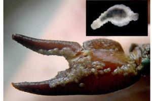 23 especies 'invaden' la cuenca del Ebro