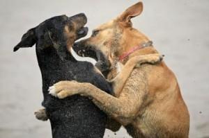 El dolor puede estar detrás de los comportamientos agresivos de algunos canes. Imagen por Alex E. Proimos