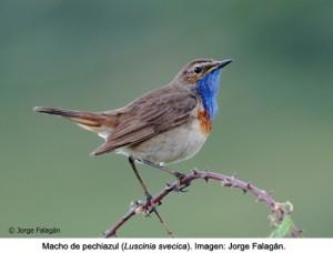 La nidificación influye en el colorido del plumaje de las aves