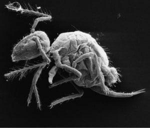 La nueva especie Pygmarrhopalites maestrazgoensis. Imagen: Rafael Jordana y Enrique Barquero.