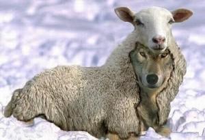 lobos y falsos corderos