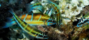 Cabrera image (from oceana.org)