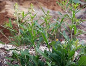 La nueva especie de planta con flores, Reseda minoica, de la región Mediterránea oriental. / Santiago Martín Bravo et al.