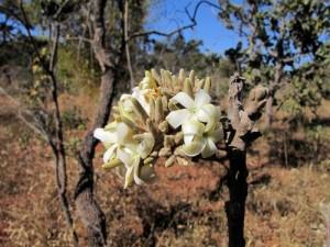 Flor de el Cerrado. Fuente: blog CIFOR