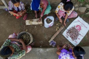 Frutos del bosque: los pobladores de Lubuk Beringin cosechan nueces de palma en la provincia de Jambi, Indonesia. Tri Saputro/CIFOR