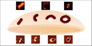 Las imágenes de superresolución muestran que las proteínas Bax (en líneas, arcos y anillos) median en la permeabilización de la membrana externa de las mitocondrias durante la apoptosis. / The Embo Journal/ R. Salvador-Gallego et al.