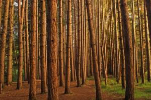 Plantación forestal de pino rojo