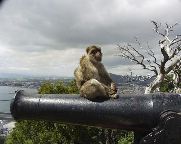 Mono peñón de gibraltar