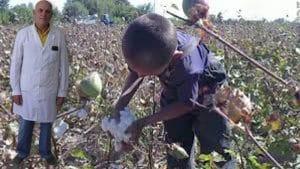 recolectar algodón en Formosa